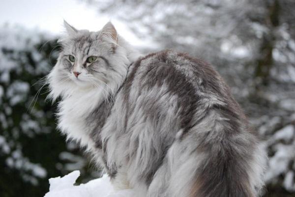 Mèo rừng Na Uy – Norwegian Forest Cat là giống mèo thông minh và trầm tĩnh.