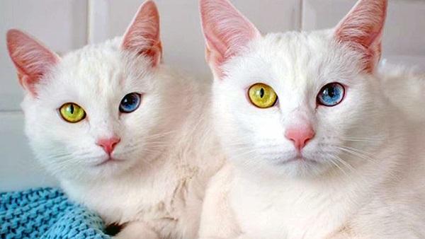 Mèo mắt 2 màu Khao Manee