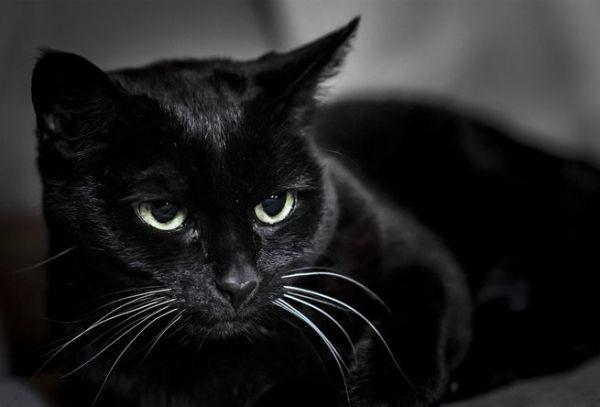 Black Mau Cat Scenes