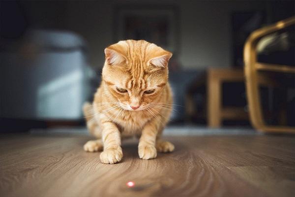 Tại sao mèo có thói quen đuổi theo tia laser?
