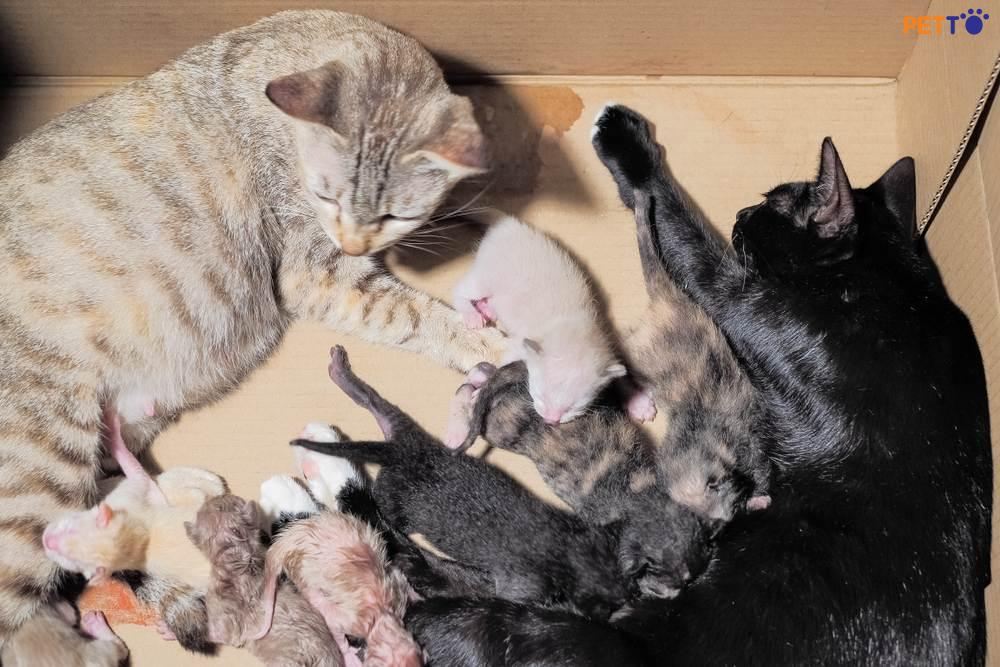 Mèo đẻ 1 năm mấy lứa? Lứa bao nhiêu con